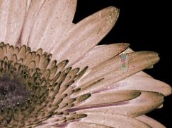 Peach-Flower